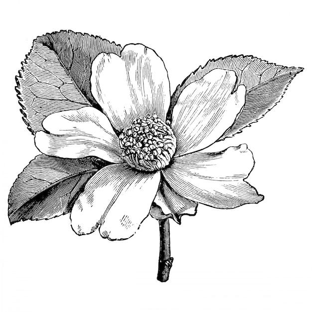 Incisione illustrazioni vintage di fiore camellia oleifera Vettore Premium