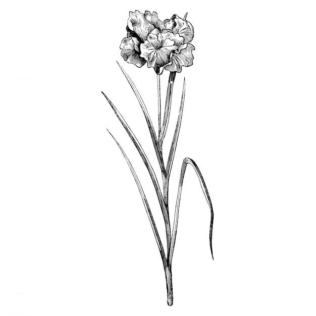 Incisione iris laevigata flore pleno fiori illustrazioni d'epoca Vettore Premium