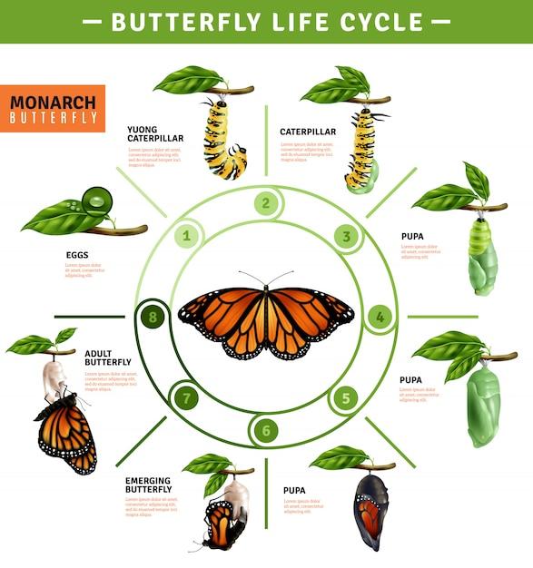 Infographics del ciclo di vita della farfalla Vettore gratuito
