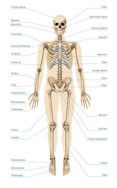 Infographics realistico del sistema scheletrico umano Vettore gratuito
