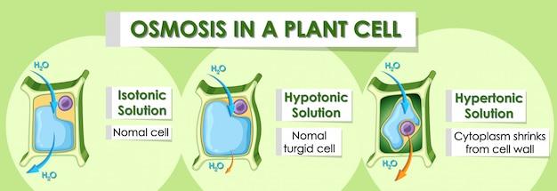 Insegna del diagramma che mostra i dettagli della cellula vegetale Vettore gratuito