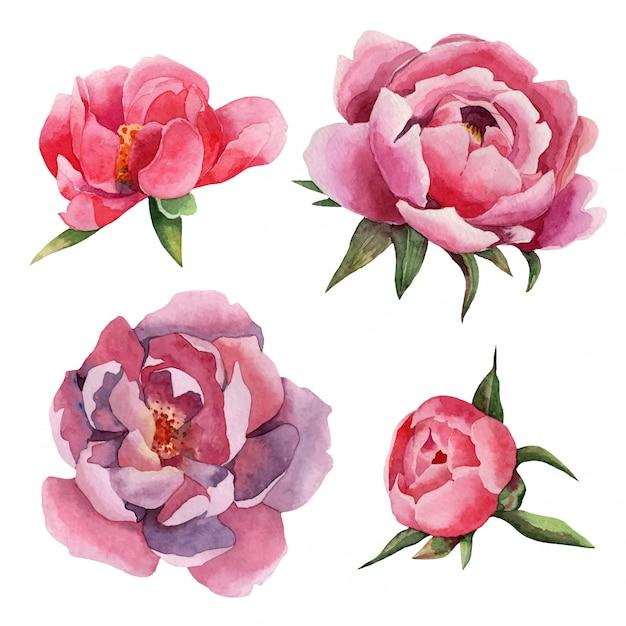 Insieme dell'acquerello disegnato a mano di fiori di peonie Vettore Premium