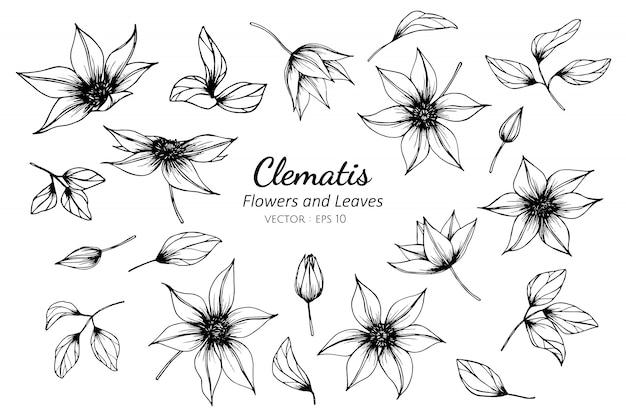 Insieme della raccolta del fiore della clematide e foglie che disegnano illustrazione. Vettore Premium