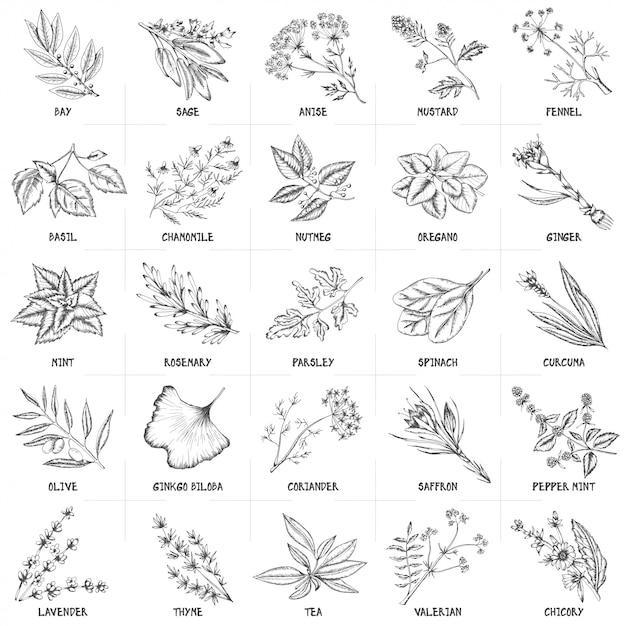 Insieme disegnato a mano di vettore delle illustrazioni dell'annata delle erbe e delle spezie. Vettore Premium