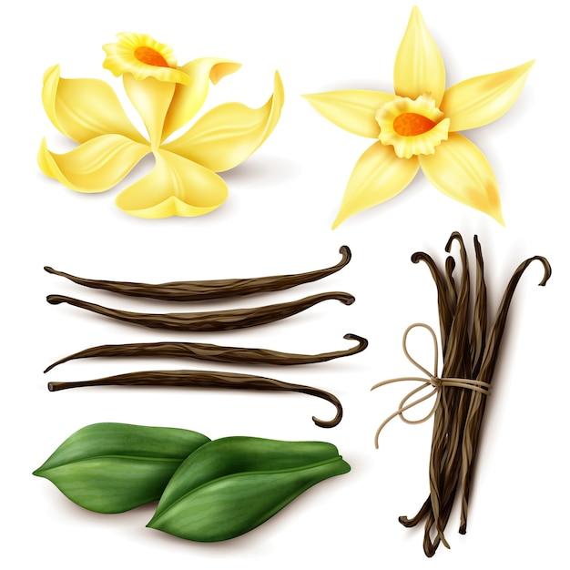 Insieme realistico della pianta di vaniglia con i fagioli marroni e le foglie marroni secchi aromatici freschi dei fiori gialli isolati Vettore gratuito