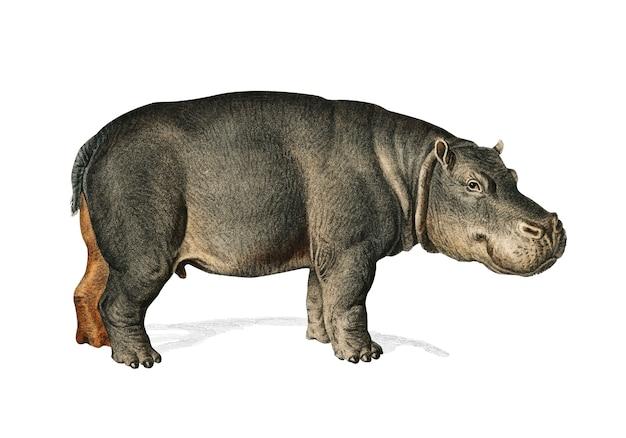 Ippopotamo (hippopotame amphibie) Vettore gratuito