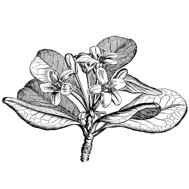 L'incisione di pittosporum viridiflor fiorisce le illustrazioni dell'annata Vettore Premium