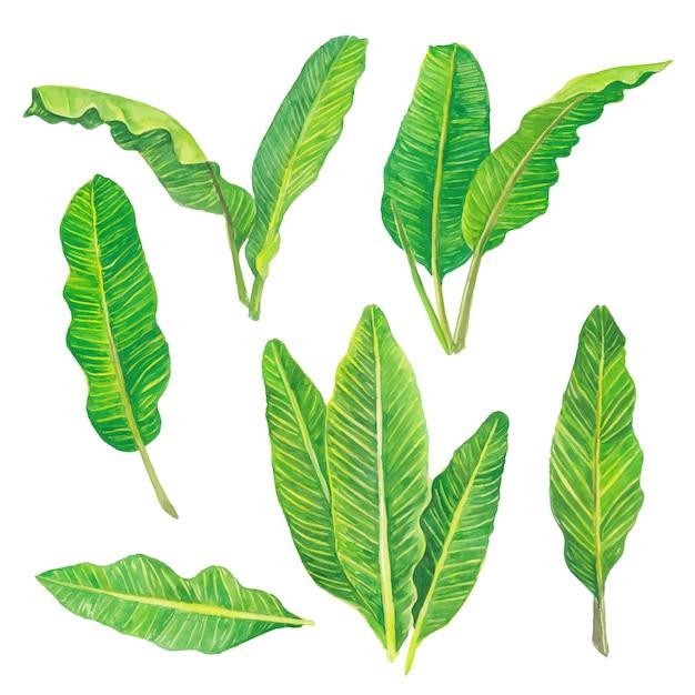 Le foglie verdi della banana dell'acquerello hanno messo la raccolta floreale della natura Vettore Premium