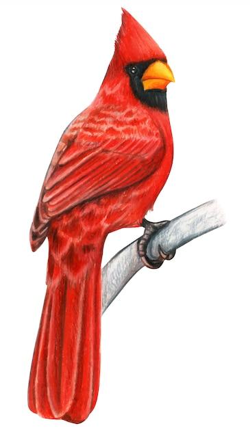 Matite colorate acquerello disegnato a mano uccello cardinale rosso Vettore Premium