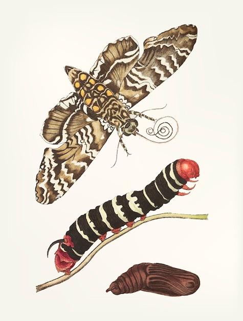 Metamorfosi disegnata a mano della sfinge della manioca Vettore gratuito