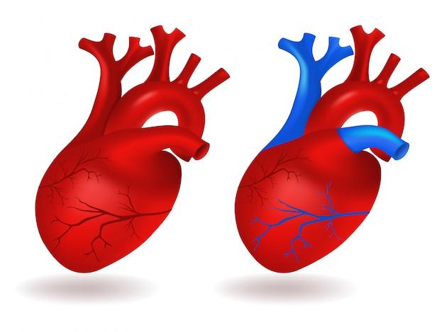 Modello di cuore umano Vettore Premium