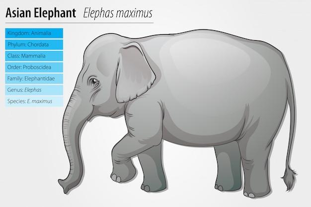 Modello di elefante asiatico Vettore gratuito