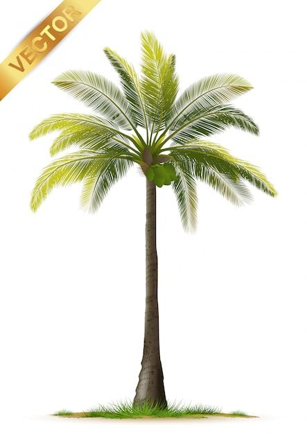 Palma realistica isolata Vettore Premium