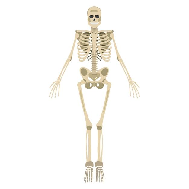 Parte anteriore dello scheletro umano isolata Vettore Premium
