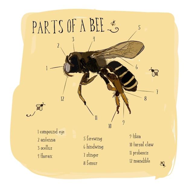 Parte del disegno vettoriale vintage ape miele. Vettore Premium
