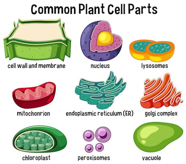 Parti di cellule vegetali comuni Vettore Premium