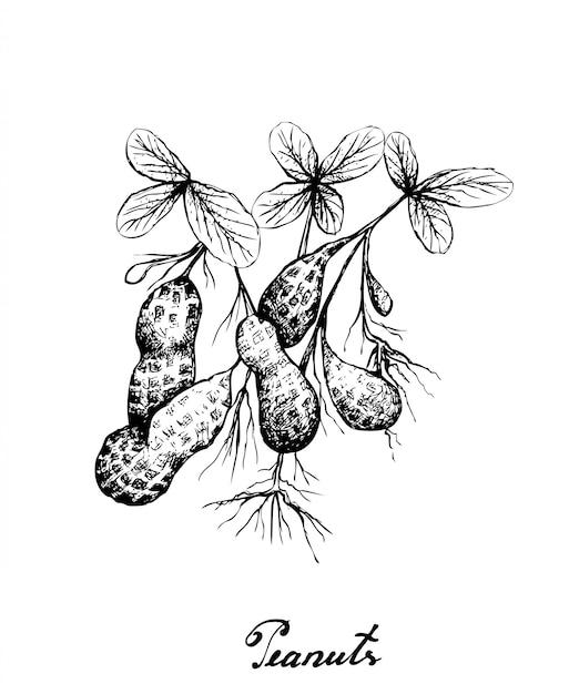 Pianta disegnata a mano delle arachidi Vettore Premium