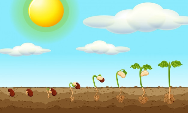 Pianta in crescita da seme nel terreno Vettore gratuito
