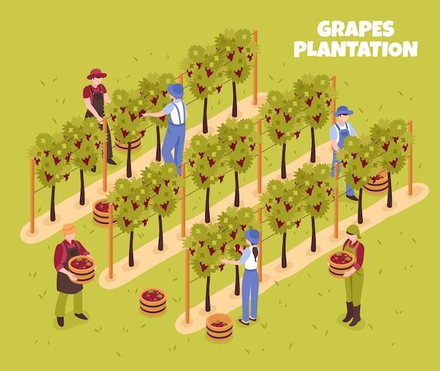 Piantagione dell'uva durante la raccolta dei lavoratori con i canestri delle bacche mature sull'illustrazione isometrica verde Vettore gratuito