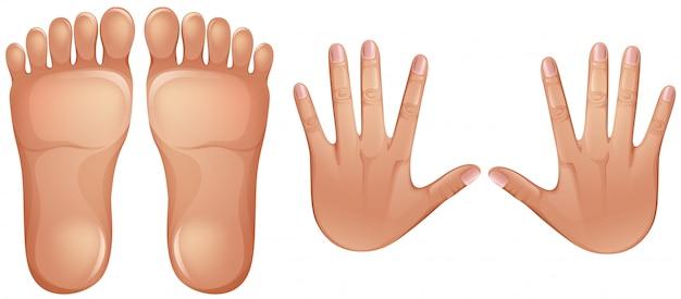 Piedi e mani di anatomia umana Vettore Premium