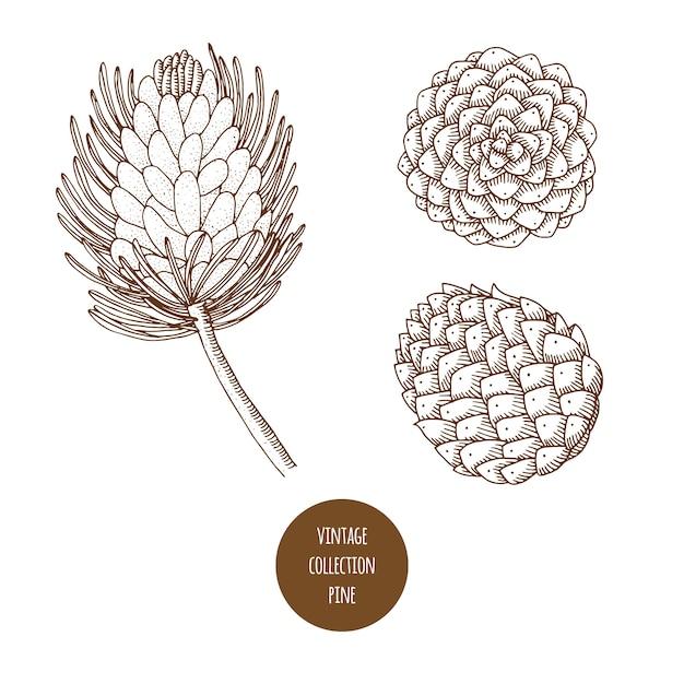 Pino. cono. insieme disegnato a mano di vettore delle piante cosmetiche isolato su fondo bianco Vettore Premium