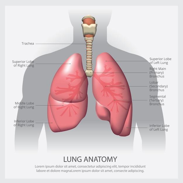 Polmone con illustrazione di dettaglio Vettore Premium