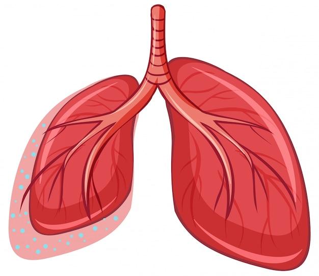 Polmone umano su sfondo bianco Vettore gratuito