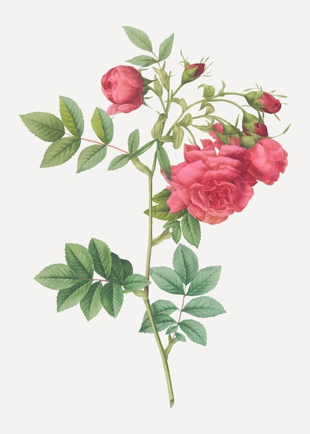 Poster vintage rosa rapa Vettore gratuito
