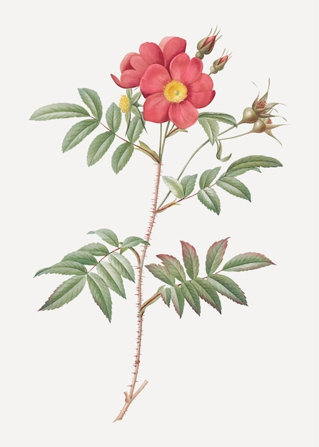 Poster vintage rosa rossa Vettore gratuito