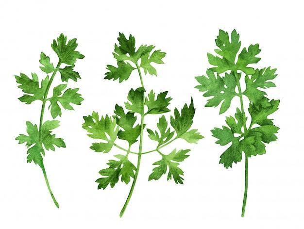 Prezzemolo, tre steli con foglie, disegnati a mano Vettore Premium