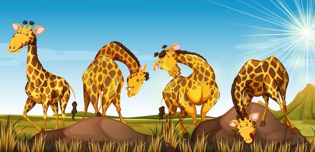 Quattro giraffe nel campo Vettore gratuito