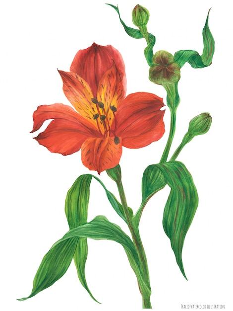 Ramo di alstroemeria rosso in fiore Vettore Premium