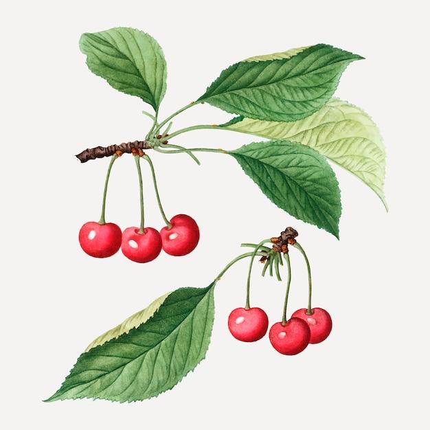 Ramo di ciliegio Vettore gratuito