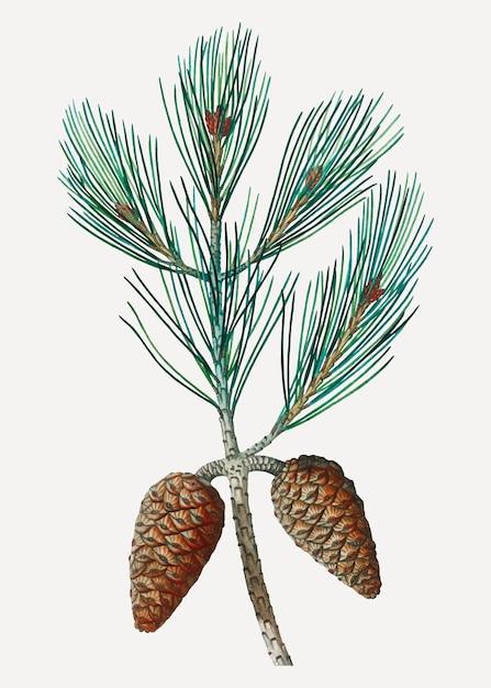 Ramo di pino di aleppo Vettore gratuito