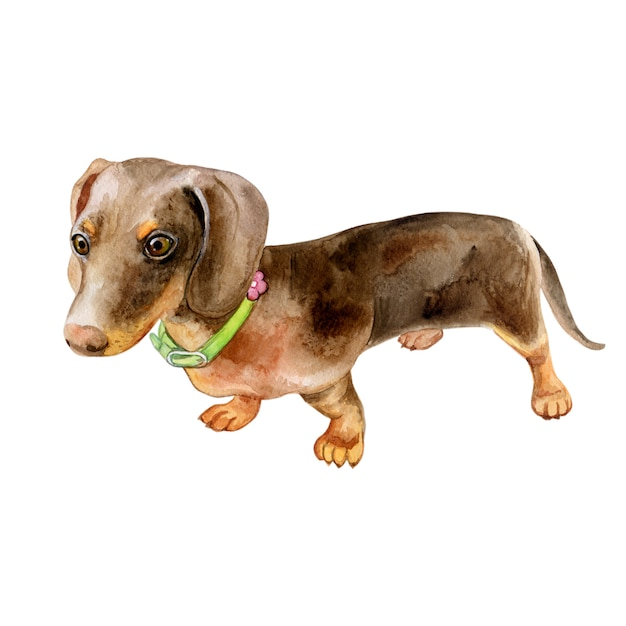 Ritratto del bassotto del cane dell'acquerello - animali domestici dipinti a mano Vettore Premium