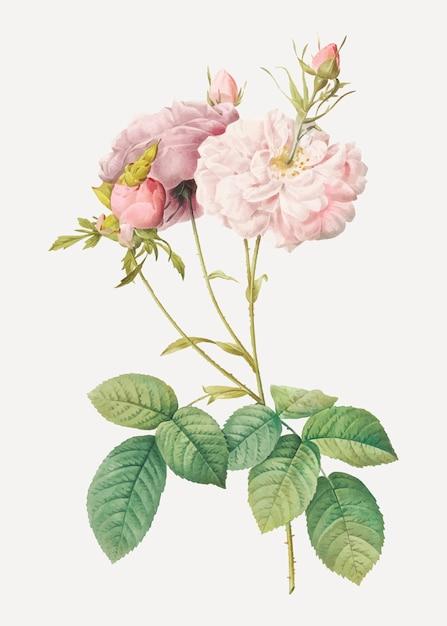 Rosa damascata rosa Vettore gratuito