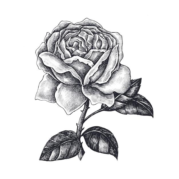 Rosa Disegnata A Mano Isolato Su Sfondo Bianco Scaricare Vettori
