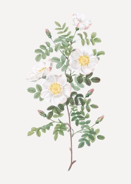 Rose bianche bruciate Vettore gratuito