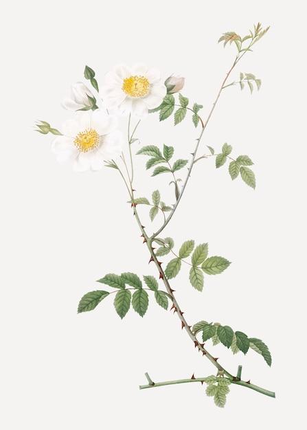 Rose bianche Vettore gratuito