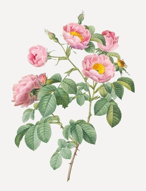 Rose rosa in fiore Vettore gratuito