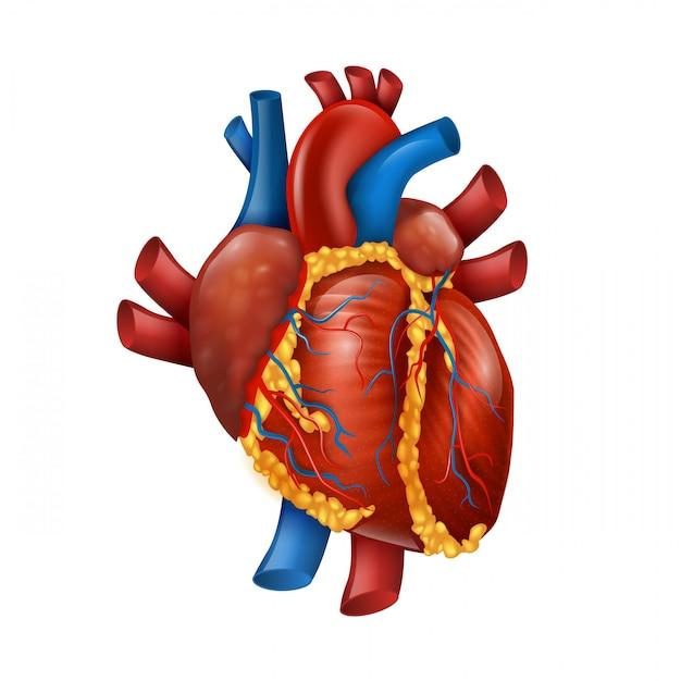 Sani 3d cuore umano realistico Vettore Premium