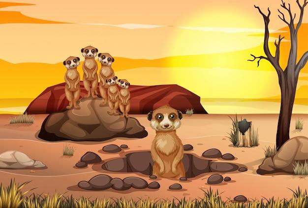 Scena con meerkat che vivono insieme nel campo della savana Vettore Premium