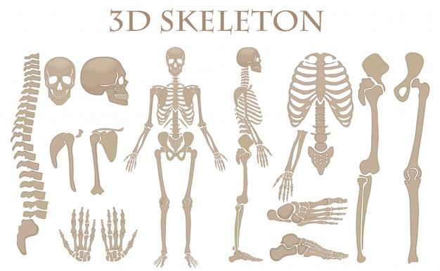 Scheletro umano realistico delle ossa umane Vettore Premium