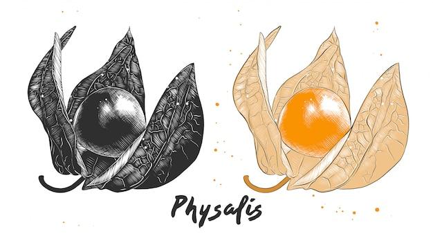Schizzo disegnato a mano di frutto physalis Vettore Premium