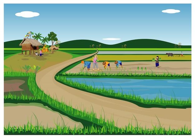 Semina del riso del trapianto dell'agricoltore nella progettazione di vettore del campo della risaia Vettore Premium