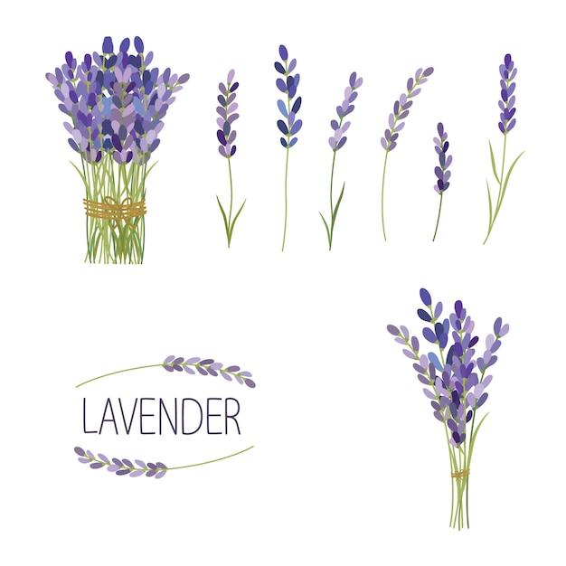 Set di elementi di fiori di lavanda. raccolta di fiori di lavanda su uno sfondo bianco. Vettore Premium