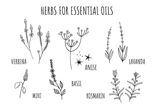 Set di erbe per oli essenziali. stile disegnato a mano Vettore Premium
