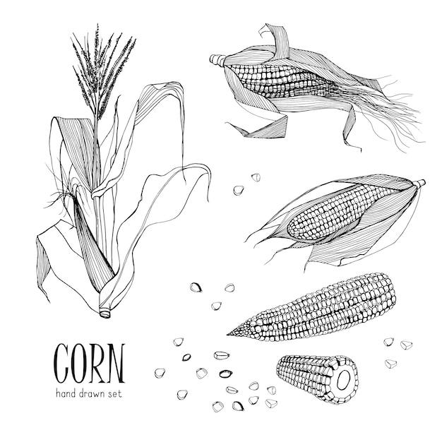 Set di piante di mais. contorno disegnato a mano raccolta mais bianco. illustrazione. Vettore Premium