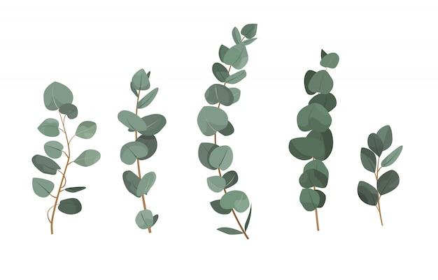 Set di rami di eucalipto isolato su sfondo bianco. Vettore Premium