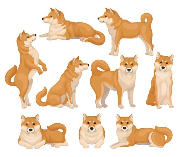 Set di shiba inu carino in diverse pose. animale domestico. cane con pelliccia rosso-beige e coda soffice. icone dettagliate Vettore Premium